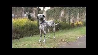 Dalmatian Dog A Baltic Origin Cross Breed In Kodaikanal