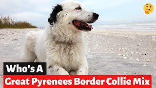 Who's a Great Pyrenees Border Collie mixbreed? Should you get yourself this mix breed?