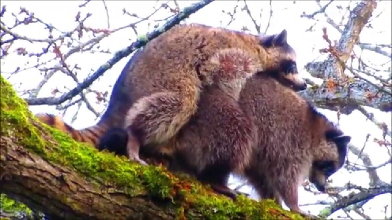 Raccoon sex