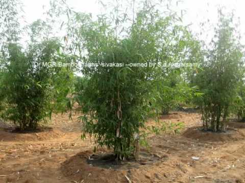 Dr MGr Bamboo Farms Tamilnadu India