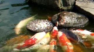 baby duck feed the carp (Nishiki-Goi) 鯉に餌を与えるカルガモちゃん 有爱的小鸭子 thumbnail