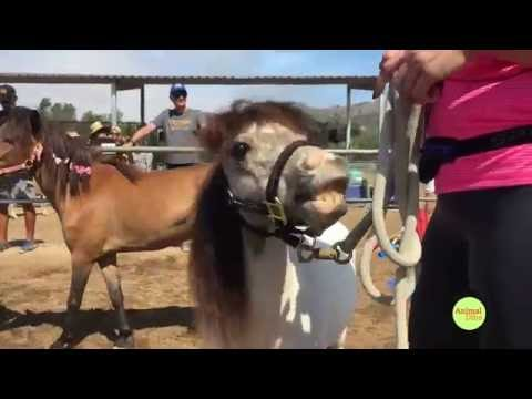 Miniature Horse Obstacle Challenge