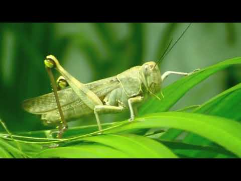 Insect name - Grasshopper