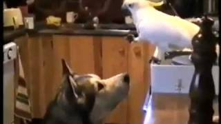 Friends forever! A parrot feeds a dog! Друзья навеки! Попугай кормит собаку!