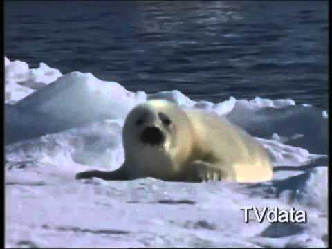 NERPA SEAL, Sea Lions, Fur Seals, Russian Wildlife, Travel to Russia, TVDATA Russian Media