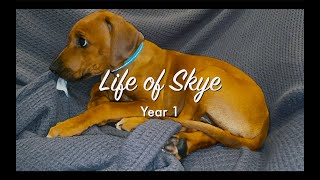 The first year of our Rhodesian Ridgeback puppy dog Skye