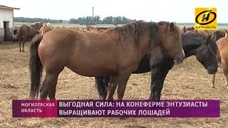 Выгодная сила: Рабочих лошадей выращивают энтузиасты на конеферме
