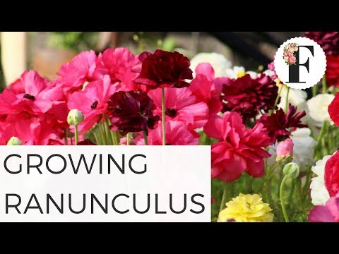 how-to-grow-ranunculus-from-corms---cut-flower-gardening