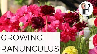 How to Grow Ranunculus from Corms - Cut Flower Tutorial