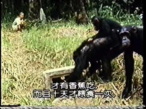 珍古德與黑猩猩 3