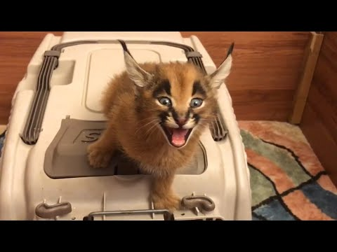 Caracal Kitten Makes Strange Sound
