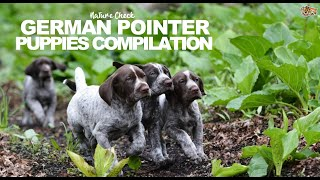 German Pointer Puppies Compilation