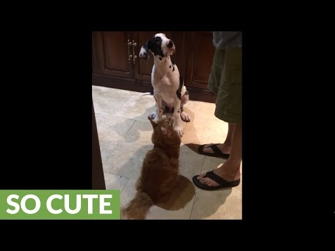 Great Dane puppy shares meal with cats