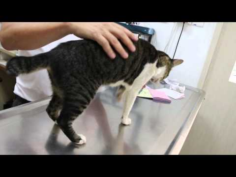 A 3-year-old Cat Lost 50% Of Her Weight And Is Ataxic