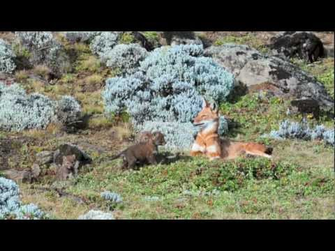 """the-g2-gallery-presents-""""the-ethiopian-wolf-project""""---promo-video"""