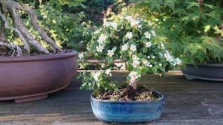 Bonsaï de cotoneaster dammeri pour moins de 3 €uro