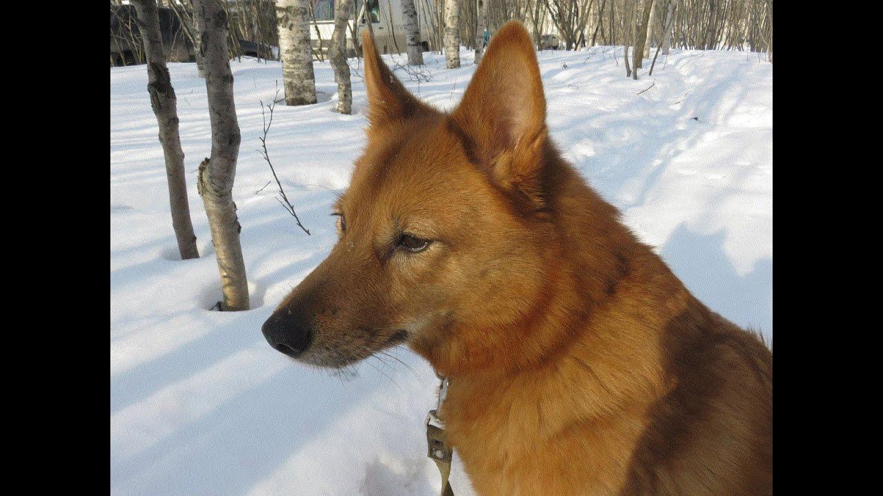 Собаки и щенки породы лайка. На доске объявлений olx. Ua украина легко и быстро можно купить щенка лайки. Заведи друга прямо сейчас!