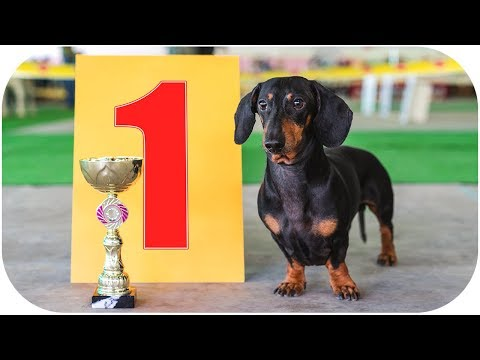 Always best in show! Funny dachshund dog video!