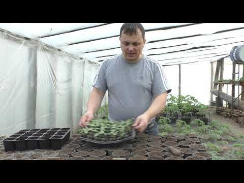 Потянутая рассада огурцов- заглублять или нет???   пикирование   выращивание   пересадка   теплица   рассада   кассета   высадка   своими   руками   огурцы