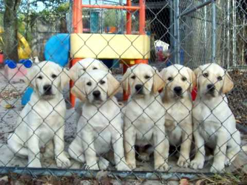 Gorgeous Yellow Labrador Puppies For Sale In Florida Youtube