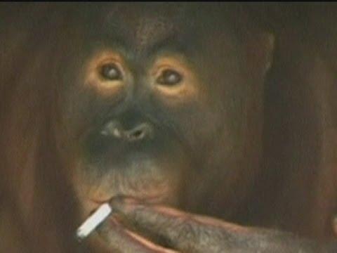 Smoking orangutan to be sent to 'rehab' on Indonesian island