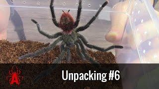 Unpacking #6 dorosły samiec T. ockerti