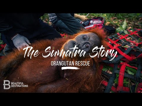 The Sumatra Story - Orangutan Rescue
