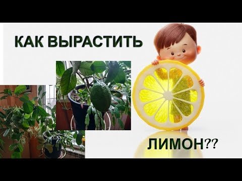 Как вырастить лимон дома?🍋 Мой ЛИМОН Мейера🍋