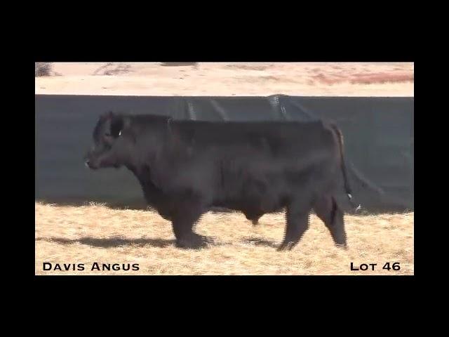 Davis Angus Lot 46