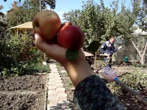 лучшие осенние сорта яблок