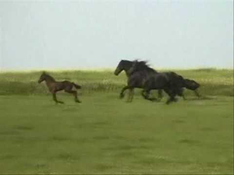Friesian Horse Running On Pasturage In Summer Royalty Free ...  |Friesian Horses Running