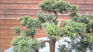 Juniperus phoenicea reproduccion asexual