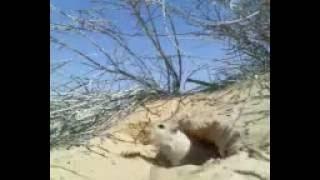 Hunting Desert Rat