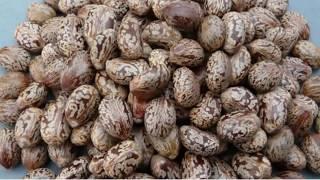 120 से अधिक रोगों की सबसे कारगर दवा यह एरंड /Ayurvedic use of castor oil planat (arand) thumbnail