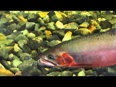 Cutthroat Trout Tank, Aquarium