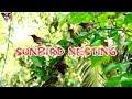Olive-Backed Sunbirds Nesting | Sunbird Nest | Sunbird Nesting | Fast Report | HD