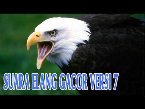 Download Suara Materan Burung Elang Gacor Versi 7 Full HD
