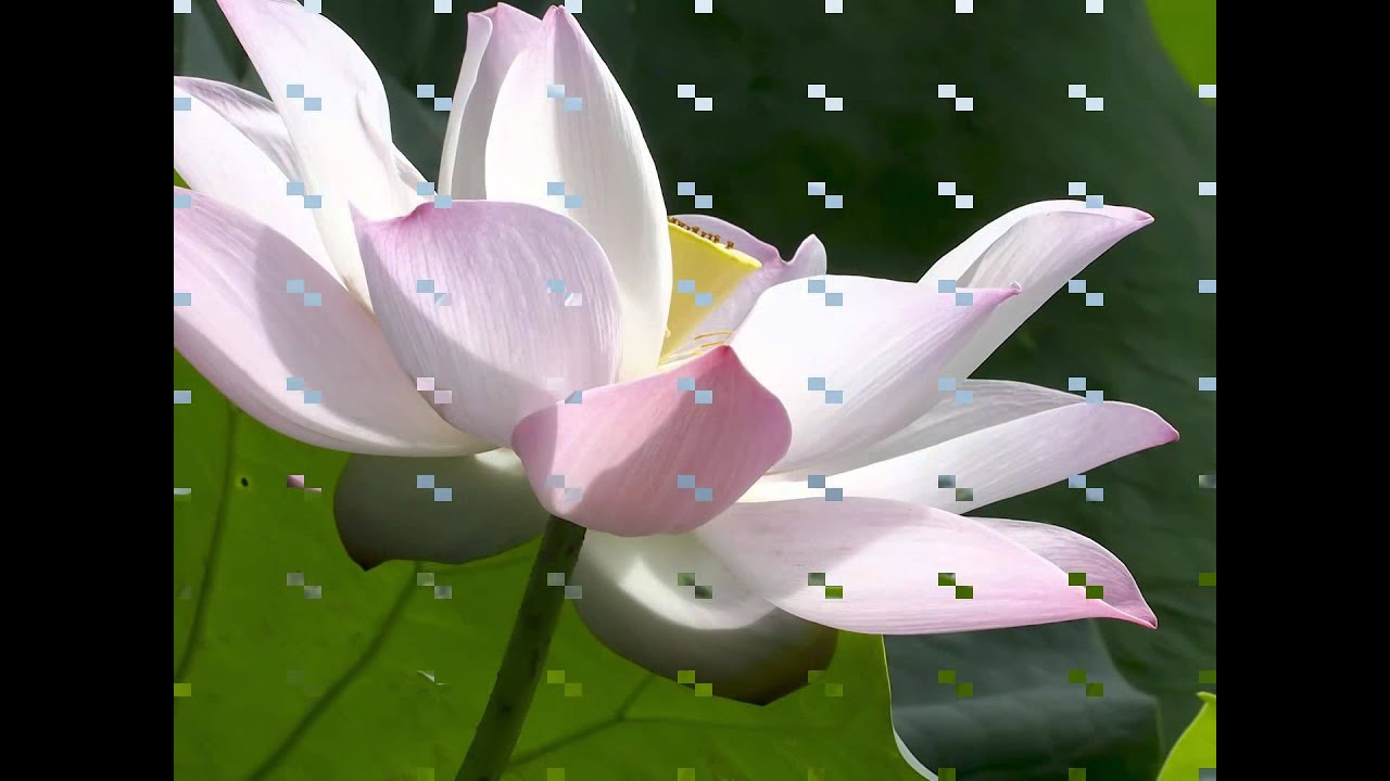 Lotus flowers growing out of water youtube lotus flowers growing out of water izmirmasajfo