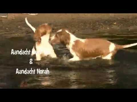 Welsh Springer Spaniel Kennel Aandacht Nest N week 10   Swimming