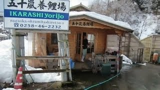 Niigata Japan Koi Fish Farm Tour - Breeder: Ikarashi Koi Farm