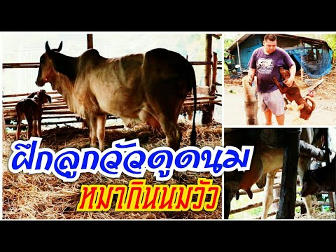 ฝึกลูกวัวกินนม หมากินนมวัว Cow's milk dog