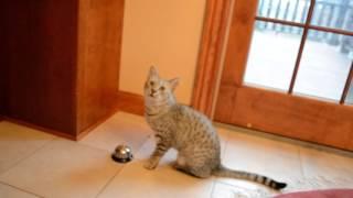 Cat rings bell to go outside