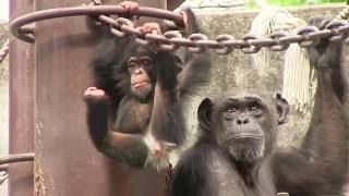 Download Video チンパンジー 双子の赤ちゃん123  Chimpanzee twin baby MP3 3GP MP4