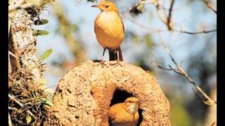 Canto de Aves do Brasil - Para os amantes dos pássaros!