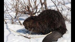 +18 трудовая  зимняя охота на бобра(слабонервным и имоцианальным не   смотреть!!!!)