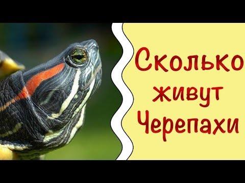 Сколько живут красноухие черепахи | Как продлить жизнь черепахе | Черепашкин дом