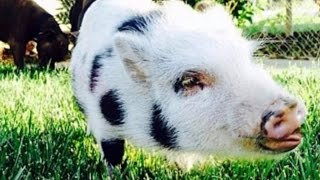 Reward Offered After Couple Says Their 100-Pound Potbellied Pig Was Stolen