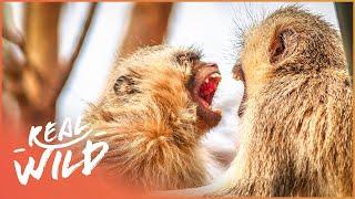 Vervet Monkey Troupe Erupts Into Civil War | Street Monkeys | Real Wild