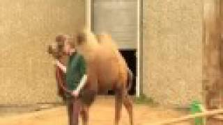 The bactrian camels at ZSL London Zoo