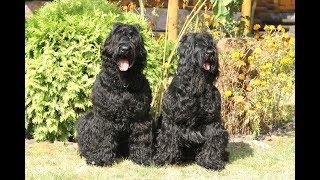 Русский черный терьер.Молодая порода собак